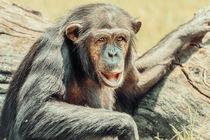 African Chimpanzee Portrait by Radu Bercan