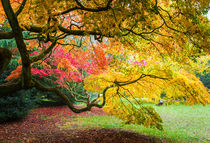 Japanese Maples (Acer Palmatum) in Autumn Colours by Graham Prentice