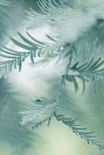 feathery leaves by augenwerk