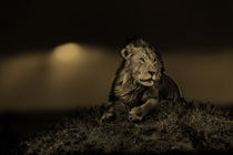 Mara-18-lion-earless-sunset2-sepia2