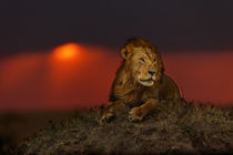 Mara-18-lion-earless-sunset2