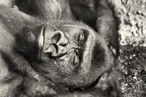 Black Gorilla Portrait by Radu Bercan
