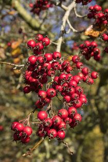 Tree-berries