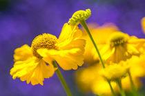 Gelbe Blüten auf Lavendel by mroppx