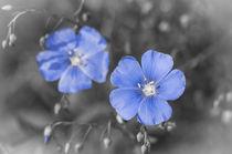 Gentle Blue Flower von cinema4design