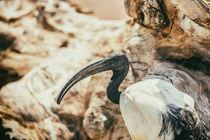 Wild African Sacred Ibis Bird by Radu Bercan