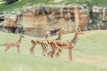 African Impala (Aepyceros Melampus) Antelope by Radu Bercan