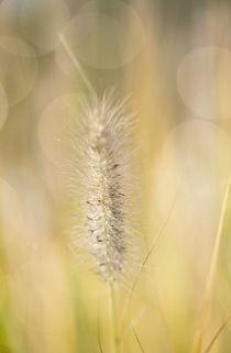Gräser / 1 von Heidi Bollich