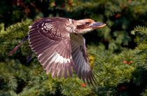 Kookaburra in Flight by Keld Bach
