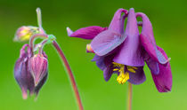 Purple Columbine von Keld Bach