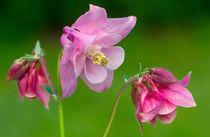 Pinkish Columbine von Keld Bach