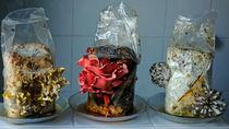 Pilze aus dem Zuchtpaket by Hartmut Binder