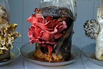 Pilze aus dem Zuchtpaket, 2 by Hartmut Binder