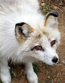 Arctic-fox-hybrid