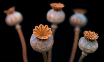 Poppy Seed Pods 2 von Keld Bach