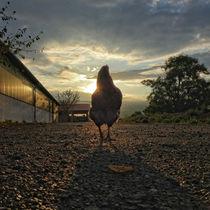 Huhn mit Sonnenuntergang, Lucky chicken by Ralf Schröer