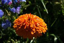 Orange-ringelblumenblute