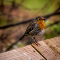 Robin Redbreast by Colin Metcalf