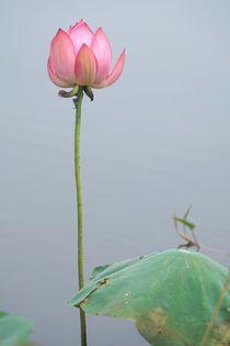 Lotosblüte by Bruno Schmidiger