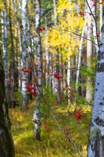 Fall. Forest. Rowan. by mnwind