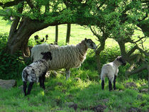 Ewe and Lambs in the Shade by Rod Johnson