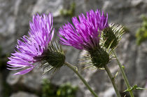 Wild purple Thistle von captainsilva