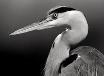 Heron Portrait in B/W by Keld Bach