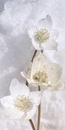 Helleborus niger - Christrose im Schnee by Chris Berger