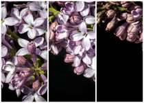 Lilac Bouquet Triptych One by John Williams