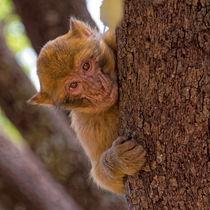 Affe in Marokko von Borg Enders