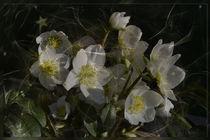 Christrose - helleborus niger von Chris Berger