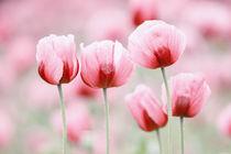 Fünf Mohnblüten von moqui