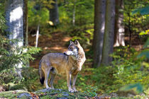 Herbst Wolf  von Borg Enders