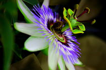 Passionsblume by dsl-photografie