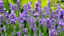 Lavendel von naturbilder