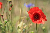 Red poppy in the field by Johannes Singler