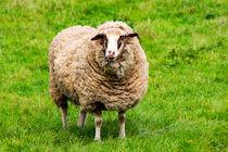 Schaf auf der Weide by mnfotografie