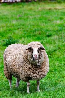 Schaf auf der Wiese von mnfotografie