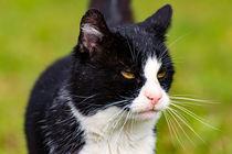 Hauskatze schwarz weiß von mnfotografie