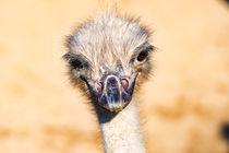 Portrait afrikanischer Vogel Strauß von mnfotografie