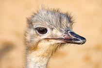 Afrikanischer Vogel Strauß im Profil von mnfotografie