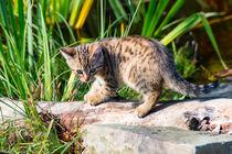 kleine junge Hauskatze 1 by mnfotografie