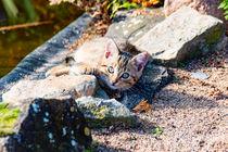 kleine junge Hauskatze by mnfotografie