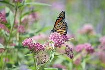 butterfly by Lucas  Queiroz