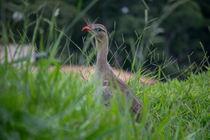wild bird von Lucas  Queiroz
