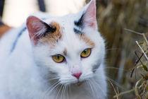 Tricolour Katze by mnfotografie