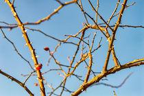 Hagebutte am Strauch by mnfotografie