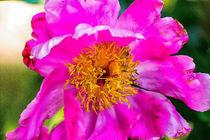 Große rosarote Blüte by mnfotografie