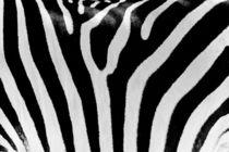 Black And White Zebra Skin Texture by Radu Bercan