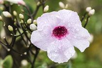 Jasmintrompete - Pandorea jasminoides - Australien by Dieter  Meyer